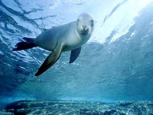The Monk Seal (Monachus-Monachus) in the Marine Park in Alonissos.