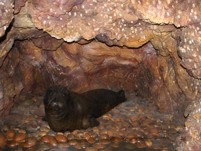 Monk seal Monachus-Monachus (photo by wikipedia).